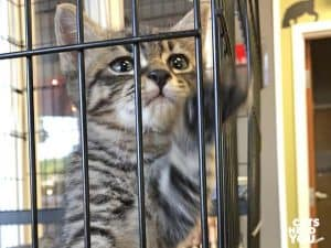 brown tabby kitten in cage reaches out