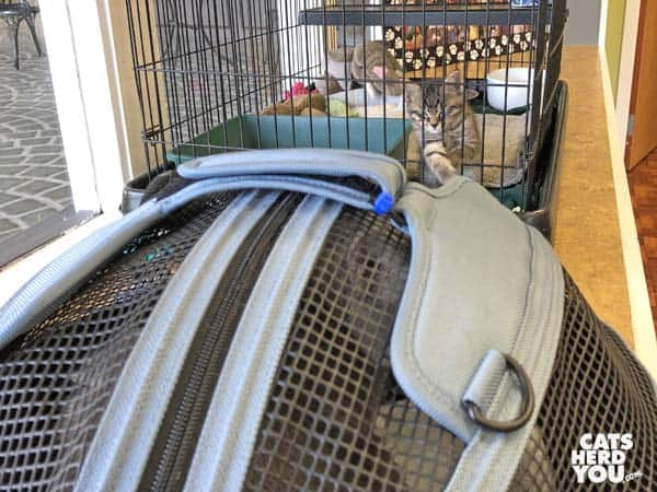 brown tabby kitten in cage reaches out to cat in carrier