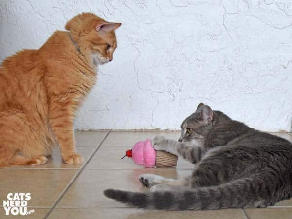 gray tabby cat plays with cupcake toy while orange tabby cat looks on