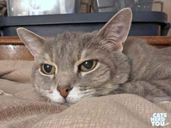 gray tabby cat looks depressed