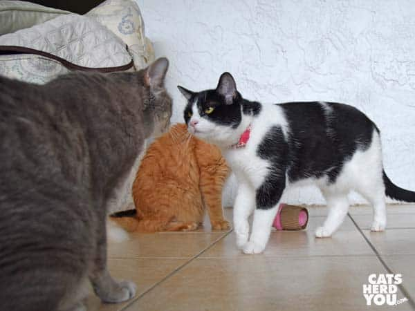 black and white tuxedo cat walks away from orange tabby cat to gray tabby cat