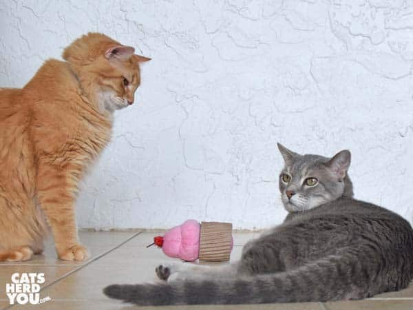 gray tabby cat lays on floor with cupcake toy as orange tabby cat looks on