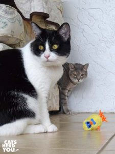 black and white tuxedo cat and gray tabby cat with wind-up chick