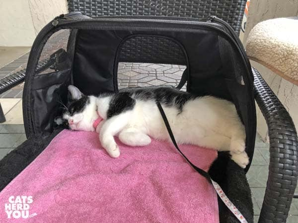 black and white tuxedo cat lounges inside carrier