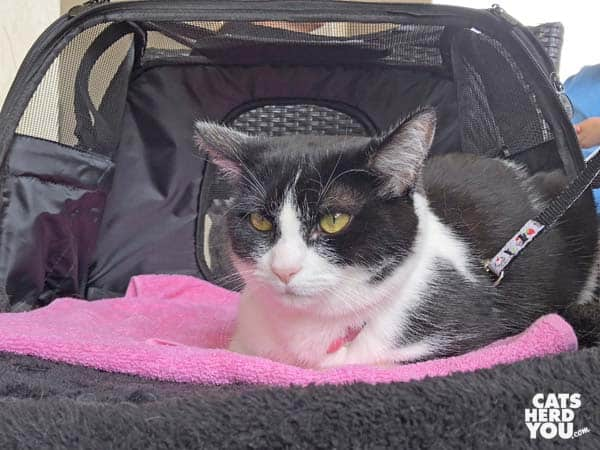 black and white tuxedo cat sits in carrier