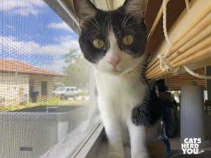 black and white tuxedo cat on windowsill