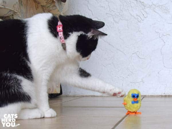 black and white tuxedo cat touches wind-up chick