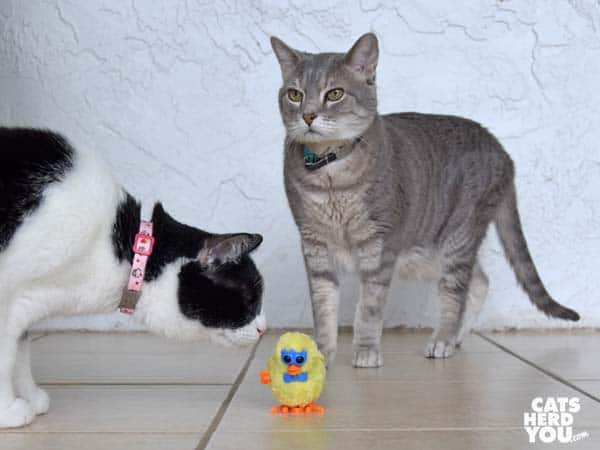 black and white tuxedo cat looks at wind-up chick while gray tabby cat looks on