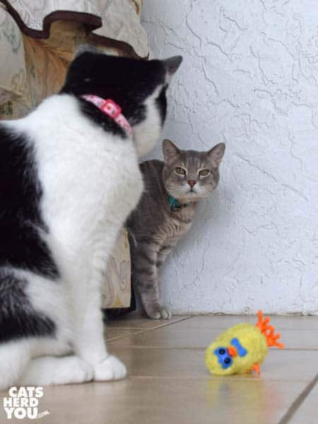 black and white tuxedo cat looks at gray tabby cat