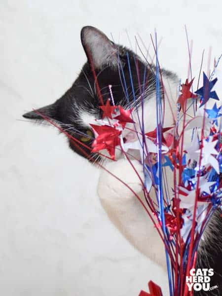 black and white tuxedo cat plays with red, white, and blue centerpiece