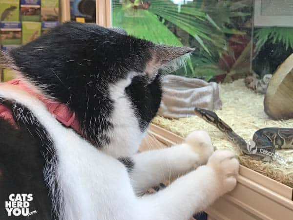 black and white tuxedo cat looks at snake through glass
