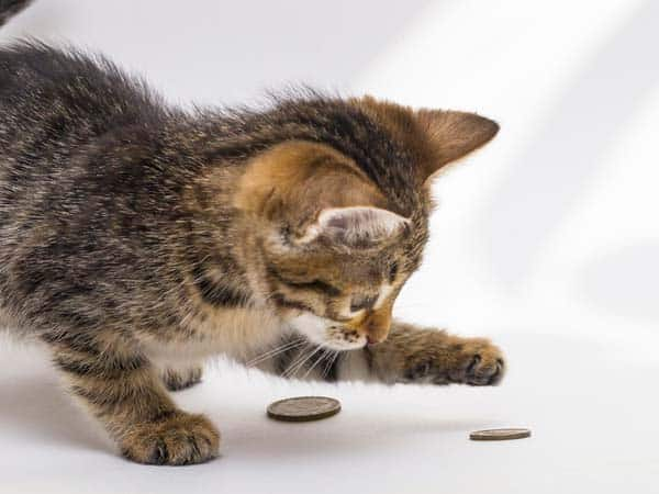 Kitten plays with coins. Image credit: depositphotos/viktoriagam