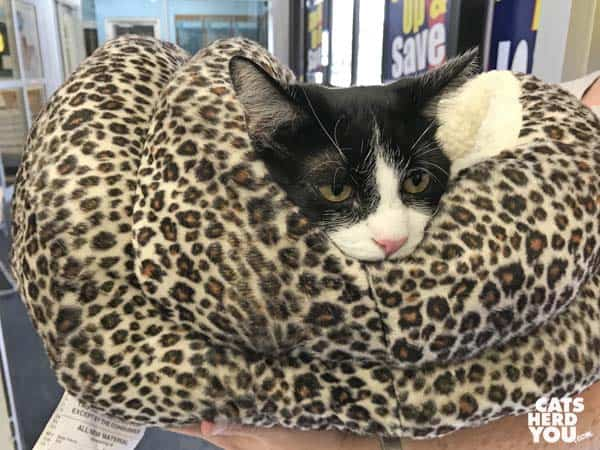 black and white tuxedo cat in leopard spotted cat bed