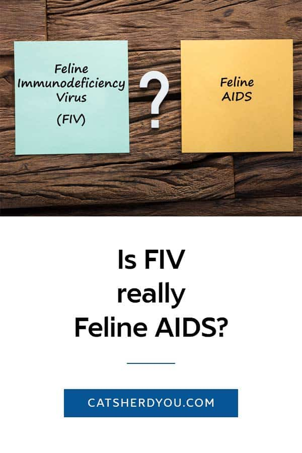 Is the feline immunodeficiency virus (FIV) really Feline AIDS? Learn how the terms are different and why it's important not to use them interchangeably. #cathealth #FIV