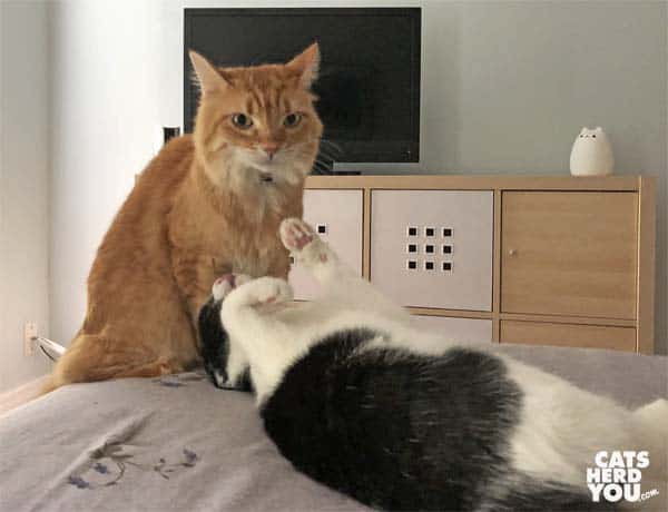 black and white tuxedo cat pesters orange tabby cat