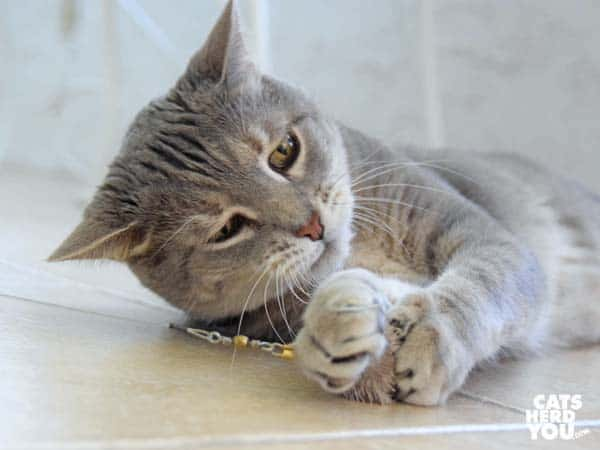 gray tabby cat grabs wand toy