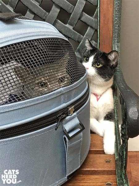 tuxedo cat looks at gray tabby cat in carrier