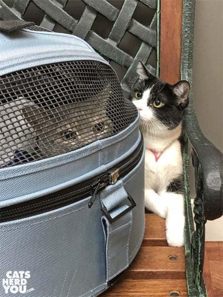 tuxedo cat looks at gray tabby cat in carrier