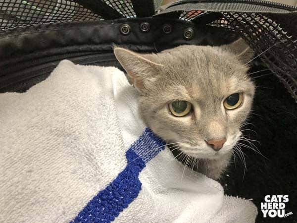 gray tabby cat under towel in carrier
