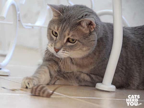 gray tabby cat grabs wand