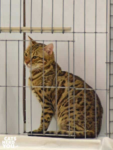 bengal cat in show ring cage
