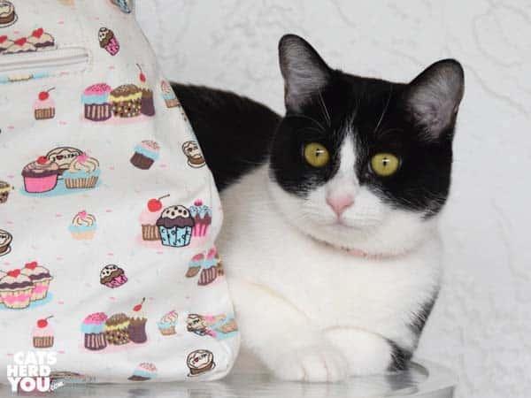 black and white tuxedo cat sits next to cupcake bag