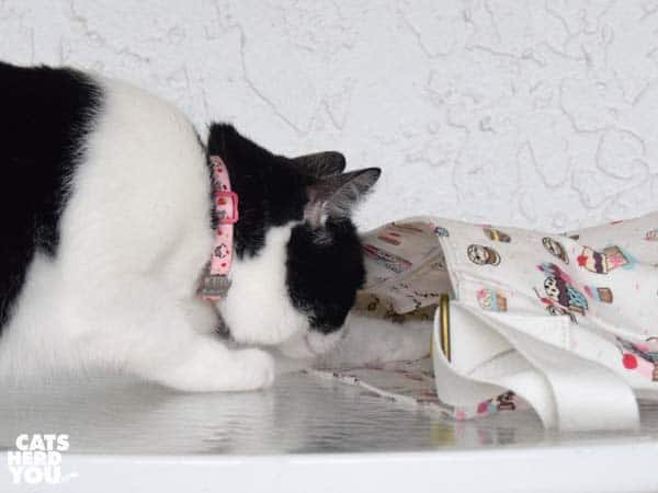 black and white tuxedo cat looks into cupcake bag