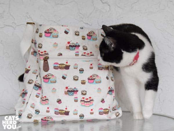 black and white tuxedo cat looks at cupcake bag