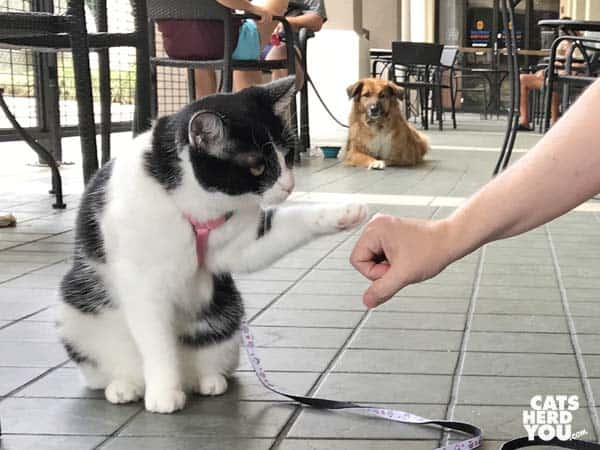 black and white tuxedo cat fist bumps as dog looks on