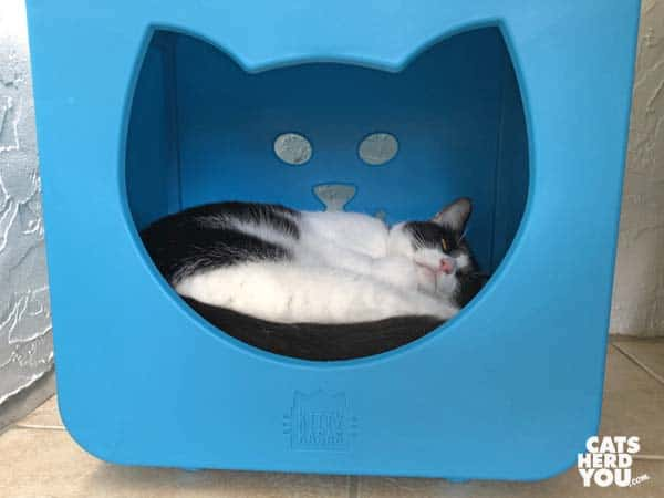 black and white tuxedo cat sleeps in blue bed