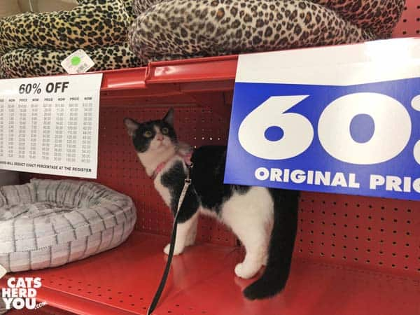 black and white tuxedo cat looks at sale sign