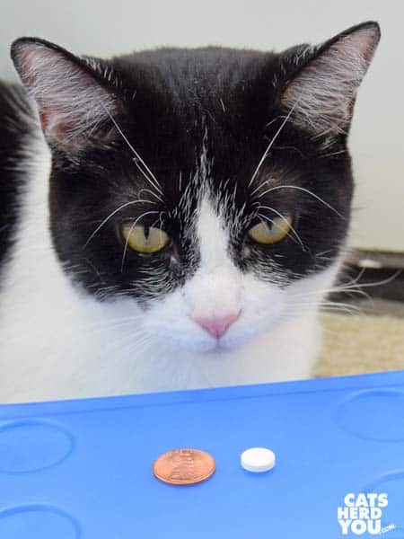 black and white tuxedo cat looks at pill and penny