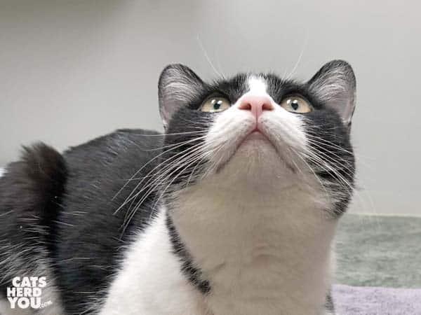 black and white tuxedo cat looks upward