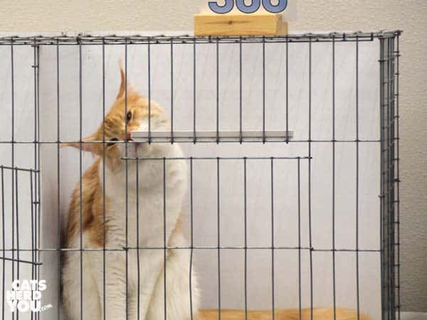 maine coon kitten in show ring cage