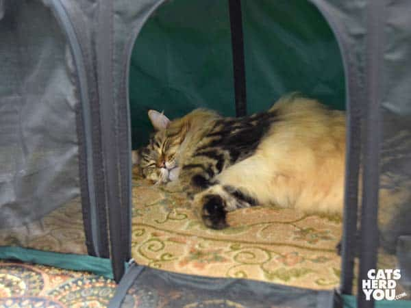 sleeping maine coon