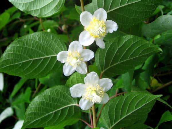 silvervine plant