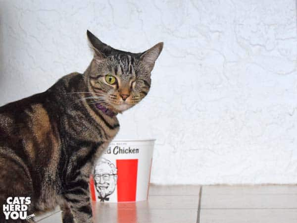 one-eyed tabby cat with KFC bucket