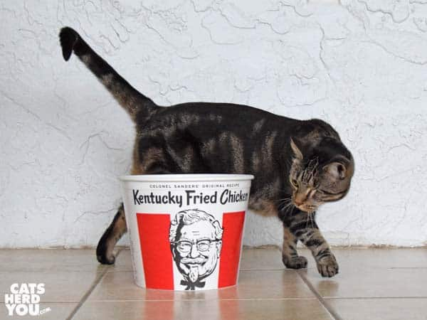 one-eyed brown tabby cat with KFC bucket