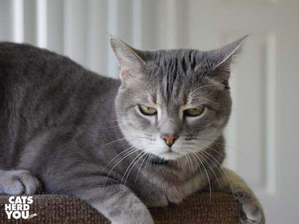 gray tabby cat looks annoyed
