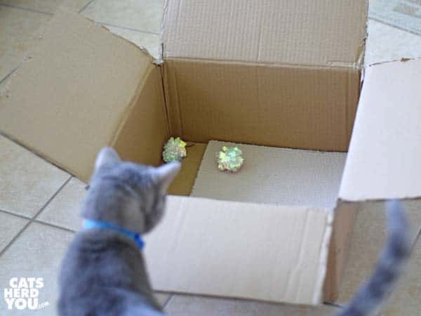 gray tabby cat looks at crinkle ball toys in cardboard box