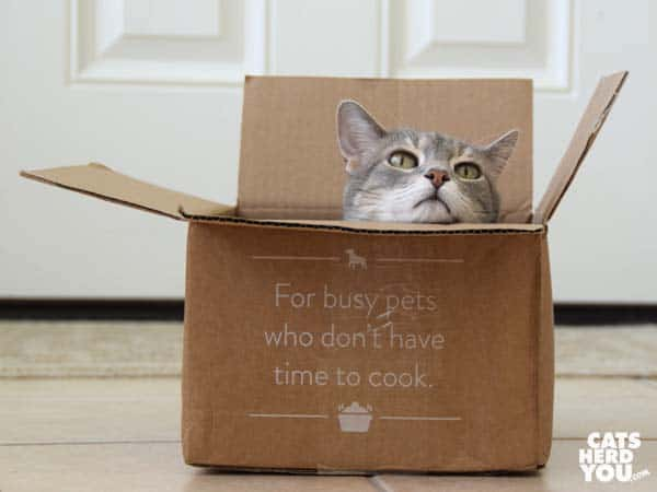 gray tabby cat in NomNomNow box