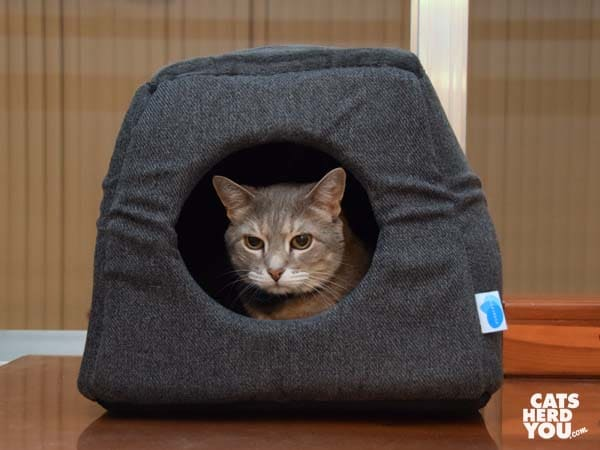 gray tabby cat in enclosed Messy Cats 2 in 1 Cuddler cat bed