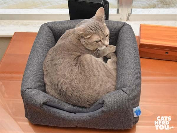 gray tabby cat in Messy Cats 2 in 1 Cuddler cat bed