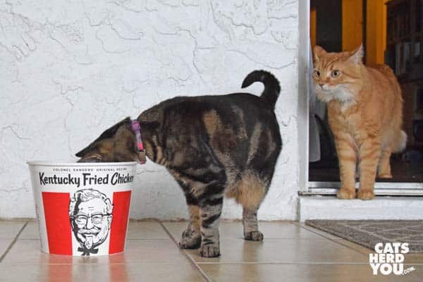 one-eyed brown tabby cat looks into KFC bucket as orange tabby cat looks on