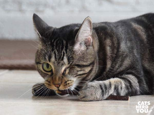 one-eyed brown tabby cat bites silvervine stick