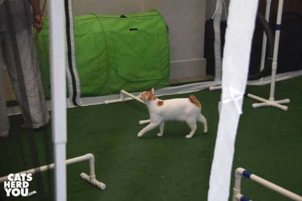 Cat performs for the first time in ICAT agility course