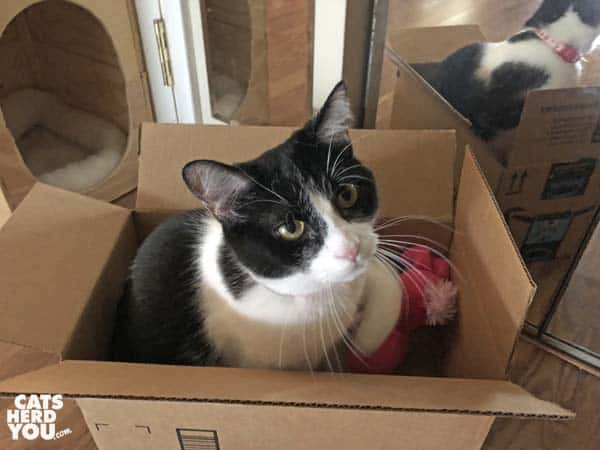 black and white tuxedo cat in cardboard box with pink stuffed bunny