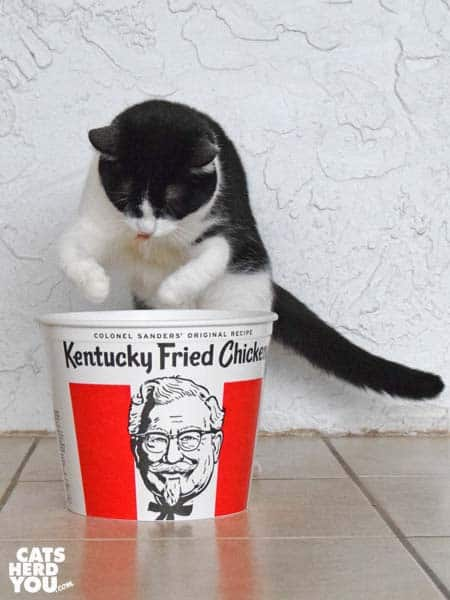black and white tuxedo cat leaps into chicken bucket