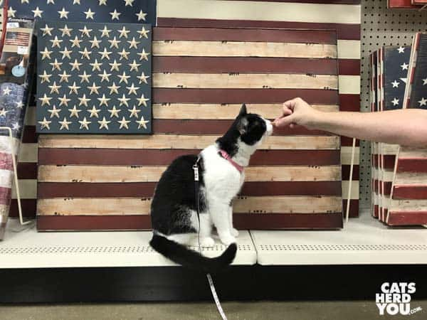 black and white tuxedo cat in front of flag canvas