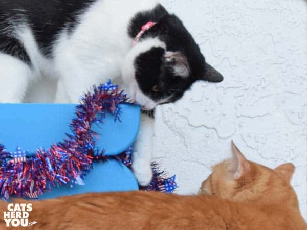 black and white cat and orange tabby cat play with patriotic garland